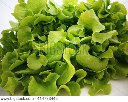Green Lettuce Leaves Background. Detail Of Fresh Green Oak Lettuce. Salad Leaves Close Up. Healthy F