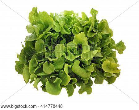 Green Lettuce Head Isolated On White Background. Overhead View Of Fresh Green Oak Lettuce. Salad Lea