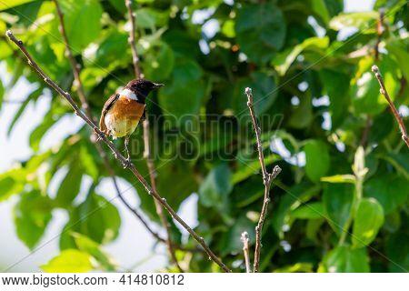 Stonechat, Saxicola Rubicola, Male Bird On Branch Close-up.