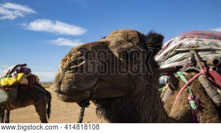 Two Dromedary Packing Belongings For An Extended Trek Into The Moroccan Sahara Desert On A Beautiful