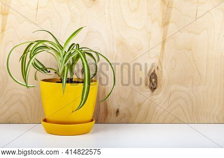 Indoor Flowers On A Wooden Background. Chlorophytum In A Yellow Pot.