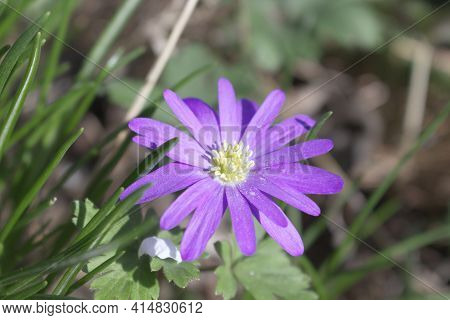 Balkan Anemone, Grecian Windflower Or Winter Windflower, A Lovely Blue Flower Blooming Early Spring.