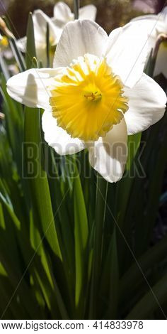 Daffodil In Full Bloom On A Sunny Day In Early Spring