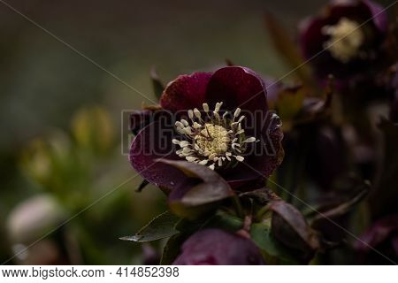 Helleborus Purple Blooms In The Park, Spring Day