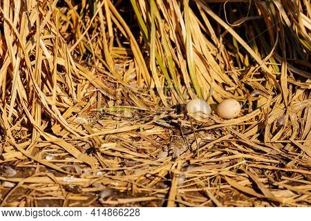 Soft Focus And Closeup Duck Egg For Cooking, Big Duck Egg In A Nest Of Hay, Chemical Free White Chic
