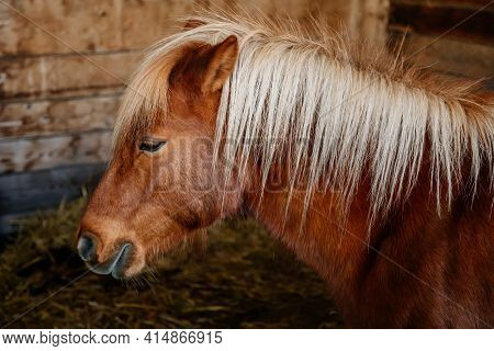 Close Up Portrait Of A Brown Pony With A Blonde Mane Standing In A Barn Stall With Hay On The Ground
