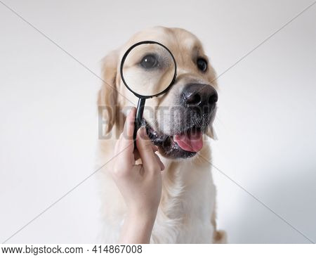 Golden Retriever Looks Through A Magnifying Glass. The Dog Reaches Out For Knowledge