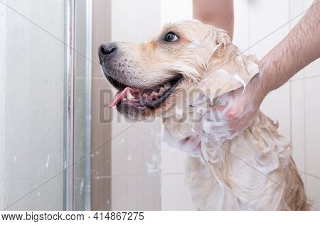 The Dog Takes A Shower With Shampoo. Male Hands Washing Golden Retriever In The Bathroom.