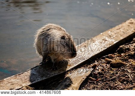 Close Up Portrait Of White Coypu, River Rat, Nutria Or Myocastor Coypus Washing Fur And Hands On The