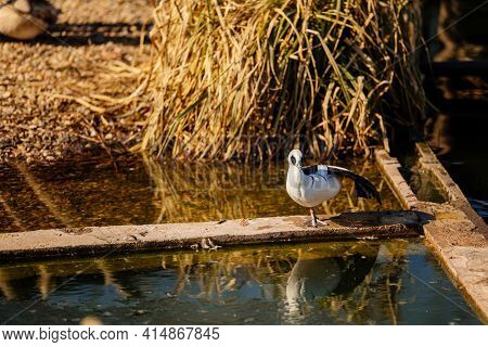 White And Black Duck Stands On One Leg On A Board Above The Pond, Waterbird Near Water, Animals In W