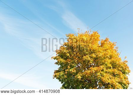 Close-up Of Golden Leaves Autumn Tree On Bright Blue Sky Background. Freedom And Fresh Air. Beautifu