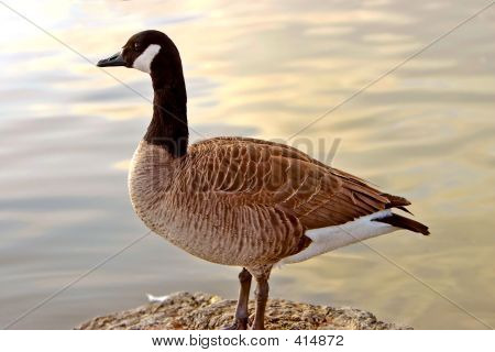 Canadian Goose With Sunset Reflections