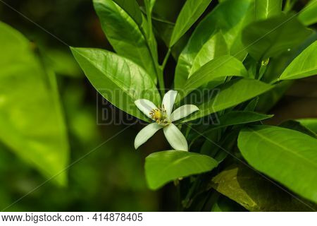 Lemon Flowers Lead To Fruit, And A Lack Of Blooms Means Your Tree Cannot Produce. Coaxing Lemon Tree