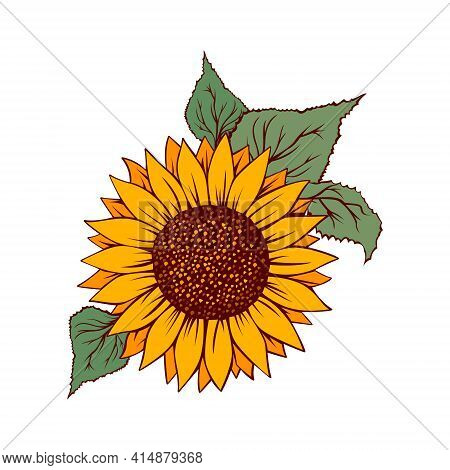 Sunflower Vector Illustration. Sunflower Isolated. Botanical Floral Illustration. Yellow Summer Flow