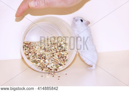 Little Hamster Is Favorite Of The Hostess. Love To The Animals. Feeding Your Hamster. Little Rodent