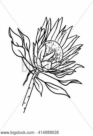 Outline Of The Protea Bud. Vector Isolated Clipart. Botanical Design.