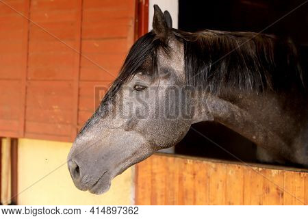 Curious Young Horse Standing In The Stable Door. Purebred Youngster Looking Out From The Barn. Mare