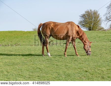 Young Horse Grazing In The Paddock , Spring Time.