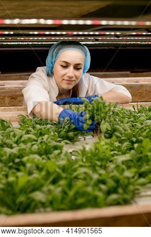 Young Caucasian Woman Harvesting Greens Basil From Her Hydroponics Farm. Concept Of Growing Organic