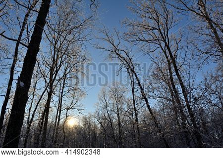 Evening In Winter Forest. Trees In Hoarfrost On The Background Of Setting Sun