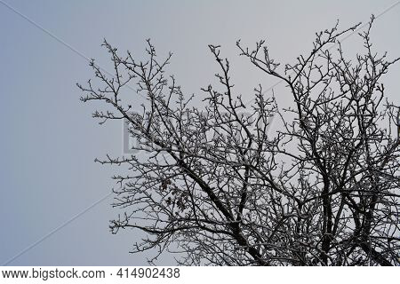 Branches Of Apple Tree Under Snow In Winter
