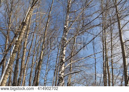 Snow On Branches And Trunks Of Poplar And Birch Trees In Winter