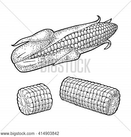 Ripe Corn Cob With And Without Leaves. Vector Vintage Engraving