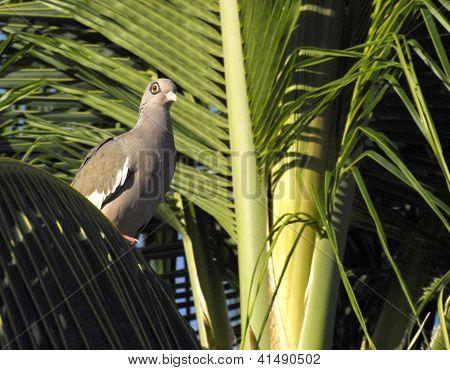 Bare Eyed Pigeon