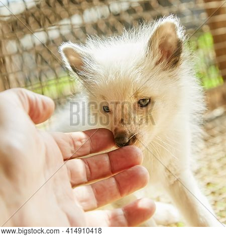 Curious young fox interested in womans hand