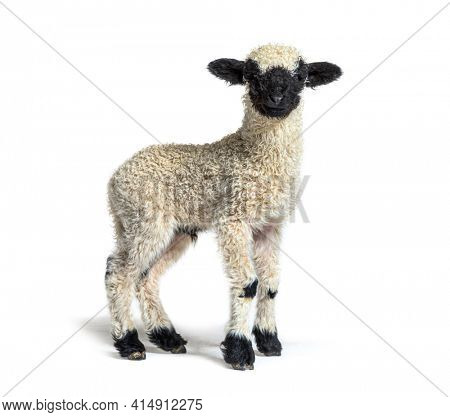 Profile of a lovely Lamb Valais Blacknose sheep three weeks old looking at the camera