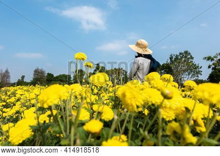 rear view of modern woman stand in the yellow chrysanthemum farm