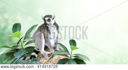 Horizontal banner with Ringtailed lemur on a branch in a rainforest. On blurred background with Lemur catta and tropical leaves. Copy space for text. Mock up template