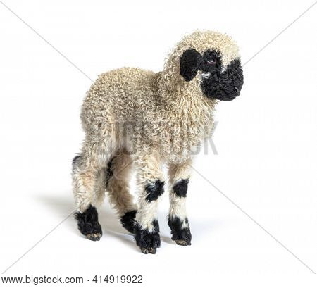 Valais Blacknose Lamb sheep standing in front, Isolated on white, three months old