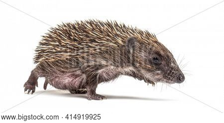 Young European hedgehog walking on a white background