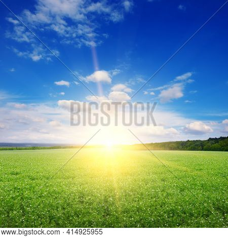Square landscape green pea field and beautiful sunrise.