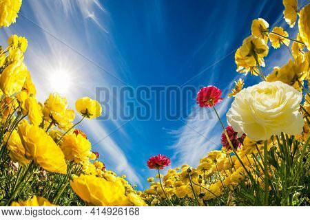 Yellow garden  ranunculus in kibbutz field with a magnificent carpet. Light cirrus clouds fly in the blue sky. Israel. Wonderful trip for spring beauty.