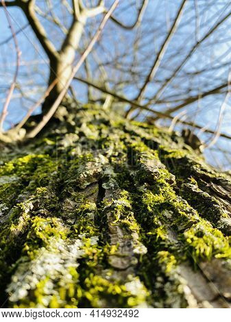 Close-up On The Bark Of A Japanese Cherry Tree. Trunk In Low Angle View. Selective Focus, Deliberate