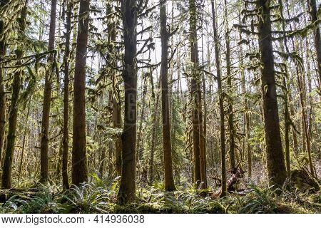 The Sun Shining Through The Temperate Rainforest Of The Hoh Rainforest In Olympic National Park