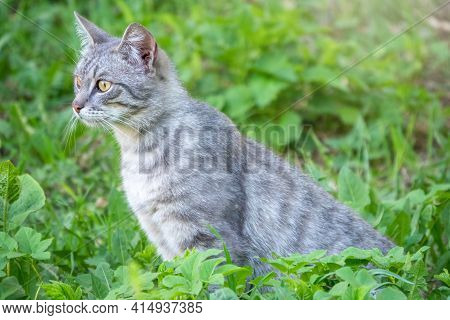 A Beautiful Fluffy Gray Cat Sits On A Green Lawn In The Sunset Light. Stray Cat Gray Color On The Ba