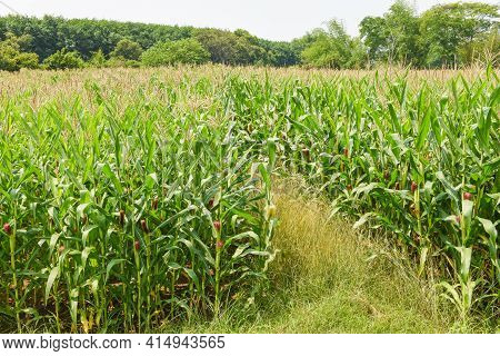 Green Corn Field, Corn Cob On Corn Field In Plantation Agriculture Asian