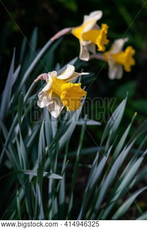 Narcissus Pseudonarcissus (commonly Known As Wild Daffodil Or Lent Lily) Is A Perennial Flowering Pl
