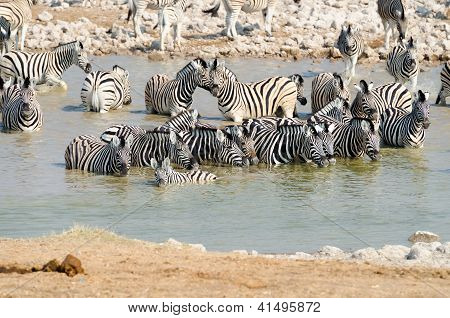 Herd of Burchells zebras in a watering hole