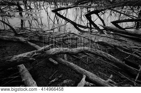 Dead Tree In Degraded Mangrove Forest. Environmental Crisis From Crimate Change, Pollution, Sediment