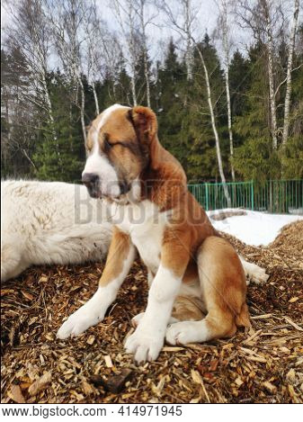 Central Asian Shepherd Dog Puppy. Cute White And Brown Alabai Puppy Sits On A Hillock Of Tree Bark