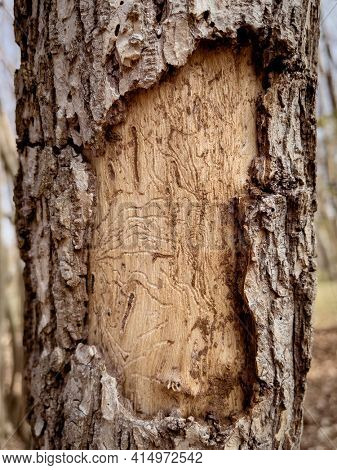 Trunk of tree with exfoliating bark. Diseased tree damaged by bark beetle.