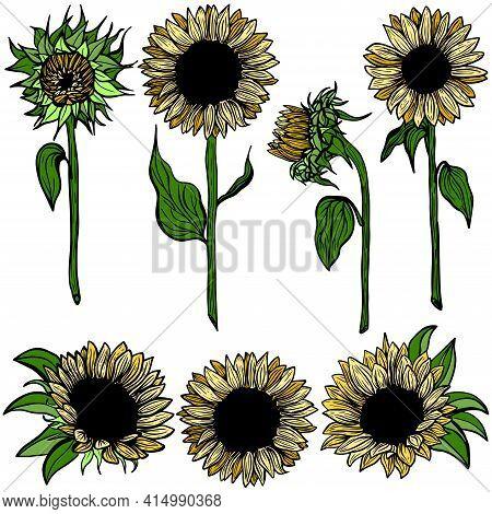 Multicolour Sunflower Set Flower Line Art On White Background Illustration. Hand-drawn Decorative Bl