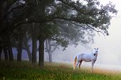 Sunlight shining through the woods through the morning fog and a white horse standing looking at the camera. Appears surreal and mystical and something out of a fairytale. poster