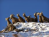 A herd of Rocky Mountain bighorn sheep watch from their snowy perch. poster