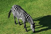 Aerial view of a grazing zebra on green grass poster