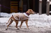 Dog in the jacket and shoes on a walk around the city in winter. poster
